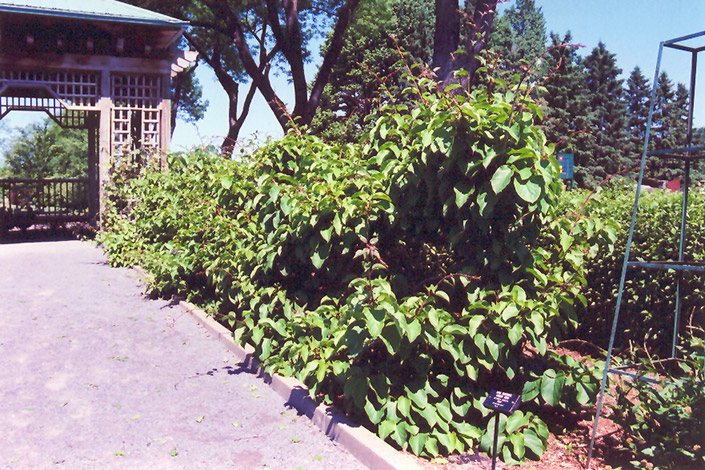 Issai Hardy Kiwi (Actinidia arguta 'Issai') at Spruce It Up Garden Centre