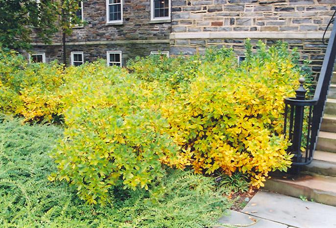Clethra Alnifolia Pruning Clethra Alnifolia in Fall