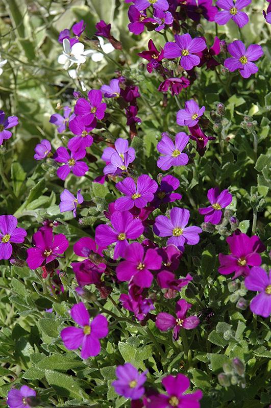 rokey 39 s purple rock cress aubrieta x cultorum 39 rokey 39 s purple 39 in calgary alberta ab at. Black Bedroom Furniture Sets. Home Design Ideas