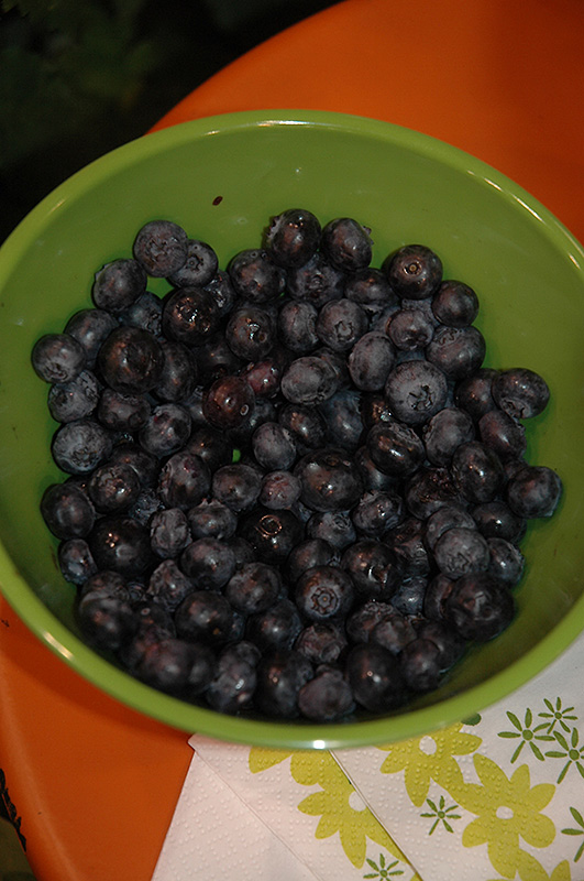 Peach Sorbet Blueberry (Vaccinium 'ZF06-043') at Spruce It Up Garden Centre