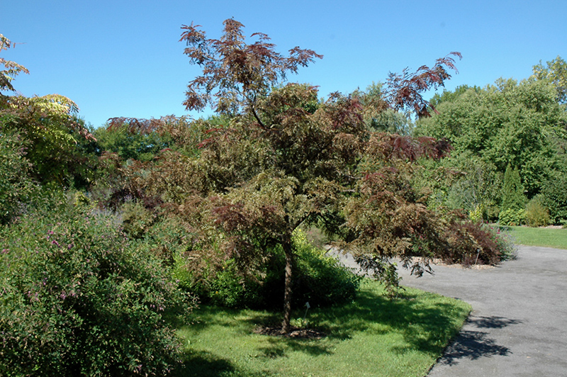 Ruby Lace Honeylocust (Gleditsia triacanthos \'Ruby Lace\') in Calgary ...