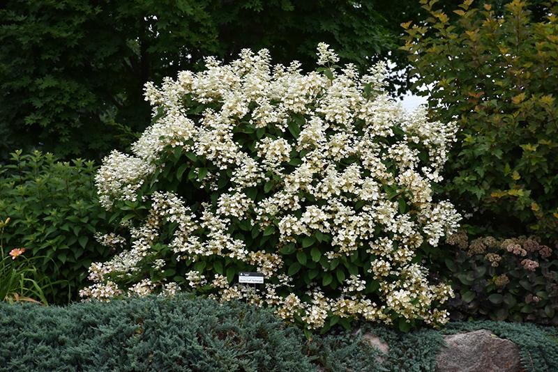Quick Fire® Hydrangea (Hydrangea paniculata 'Bulk') in