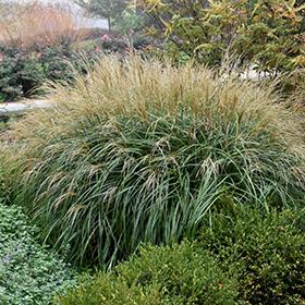 Ornamental Grass Photo