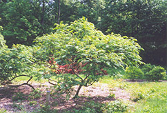Cutleaf Smooth Sumac (Rhus glabra 'Laciniata') at Spruce It Up Garden Centre