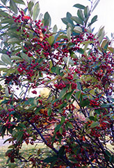 Red Chokeberry (Aronia arbutifolia) at Spruce It Up Garden Centre
