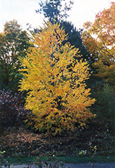 Katsura Tree (Cercidiphyllum japonicum) at Spruce It Up Garden Centre