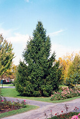 Norway Spruce (Picea abies) at Spruce It Up Garden Centre