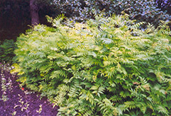 False Spirea (Sorbaria sorbifolia) at Spruce It Up Garden Centre