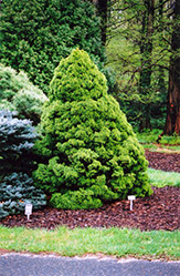 Dwarf Alberta Spruce (Picea glauca 'Conica') at Spruce It Up Garden Centre