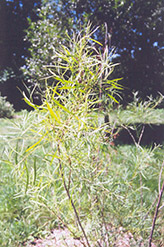 Coyote Willow (Salix exigua) at Spruce It Up Garden Centre