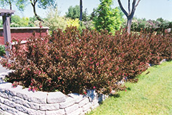 Wine and Roses® Weigela (Weigela florida 'Alexandra') at Spruce It Up Garden Centre