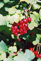 Red Currant (Ribes sativum) at Spruce It Up Garden Centre