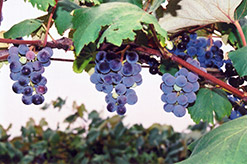 Concord Grape (Vitis 'Concord') at Spruce It Up Garden Centre