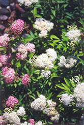 Shirobana Spirea (Spiraea japonica 'Shirobana') at Spruce It Up Garden Centre