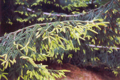 Golden Oriental Spruce (Picea orientalis 'Aurea') at Spruce It Up Garden Centre