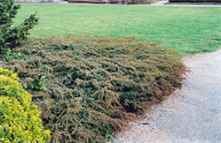 Effusa Juniper (Juniperus communis 'Effusa') at Spruce It Up Garden Centre