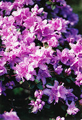 Ramapo Rhododendron (Rhododendron 'Ramapo') at Spruce It Up Garden Centre