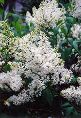 Mount Baker Lilac (Syringa x hyacinthiflora 'Mount Baker') at Spruce It Up Garden Centre