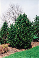 Gnom Mugo Pine (Pinus mugo 'Gnom') at Spruce It Up Garden Centre