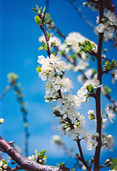Mount Royal Plum (Prunus 'Mount Royal') at Spruce It Up Garden Centre