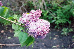 Charm Lilac (Syringa vulgaris 'Charm') at Spruce It Up Garden Centre