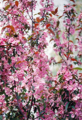 Shaughnessy Cohen Flowering Crab (Malus 'Shaughnessy Cohen') at Spruce It Up Garden Centre