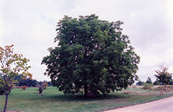 Black Walnut (Juglans nigra) at Spruce It Up Garden Centre