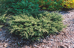 Repanda Juniper (Juniperus communis 'Repanda') at Spruce It Up Garden Centre