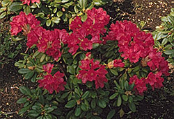 Elviira Rhododendron (Rhododendron 'Elviira') at Spruce It Up Garden Centre