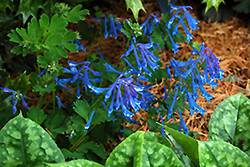 Blue Corydalis (Corydalis elata) at Spruce It Up Garden Centre