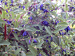 Blue Belle Honeyberry (Lonicera caerulea 'Blue Belle') at Spruce It Up Garden Centre