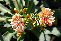 Sunset Group Bitterroot (Lewisia cotyledon 'Sunset Group') at Spruce It Up Garden Centre