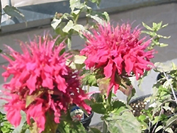 Pink Supreme Beebalm (Monarda didyma 'Pink Supreme') at Spruce It Up Garden Centre