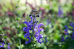 Rhapsody In Blue Meadow Sage (Salvia x superba 'Rhapsody In Blue') at Spruce It Up Garden Centre