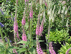 Baby Doll Speedwell (Veronica spicata 'Baby Doll') at Spruce It Up Garden Centre