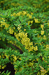 Emerald Carousel Barberry (Berberis 'Tara') at Spruce It Up Garden Centre
