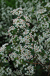 Black Chokeberry (Aronia melanocarpa 'var. elata') at Spruce It Up Garden Centre