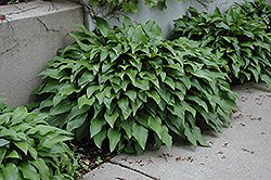 Invincible Hosta (Hosta 'Invincible') at Spruce It Up Garden Centre