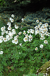 Windflower (Anemone sylvestris) at Spruce It Up Garden Centre