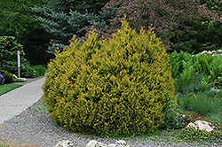 Rheingold Arborvitae (Thuja occidentalis 'Rheingold') at Spruce It Up Garden Centre