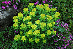 Cushion Spurge (Euphorbia polychroma) at Spruce It Up Garden Centre