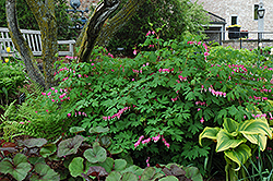 Common Bleeding Heart (Dicentra spectabilis) at Spruce It Up Garden Centre