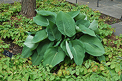 Blue Angel Hosta (Hosta 'Blue Angel') at Spruce It Up Garden Centre