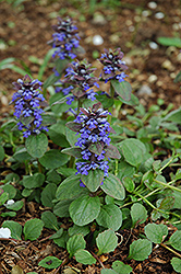 Caitlin's Giant Bugleweed (Ajuga reptans 'Caitlin's Giant') at Spruce It Up Garden Centre