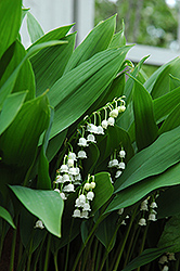 Lily-Of-The-Valley (Convallaria majalis) at Spruce It Up Garden Centre