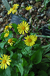 Magnificum Leopard's Bane (Doronicum orientale 'Magnificum') at Spruce It Up Garden Centre