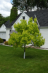 Princeton Gold Maple (Acer platanoides 'Princeton Gold') at Spruce It Up Garden Centre
