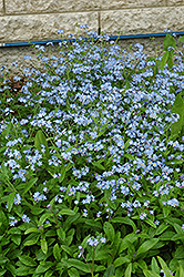 Forget-Me-Not (Myosotis sylvatica) at Spruce It Up Garden Centre