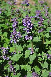 Dropmore Blue Catmint (Nepeta x faassenii 'Dropmore Blue') at Spruce It Up Garden Centre