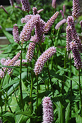 Pink Snakeweed (Persicaria bistorta 'Superba') at Spruce It Up Garden Centre